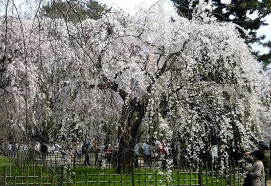 それでも桜は咲く 〜刹那と永遠〜